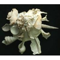 Xenophora Pallidula Reeve