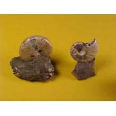Discoscaphites conradi