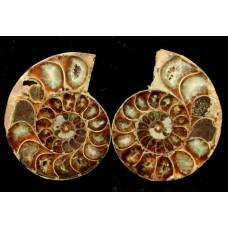 Ammonite Pair