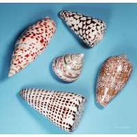 Cone shell collection