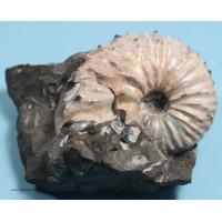Fossil Ammonite (Diploscaphites sp. )